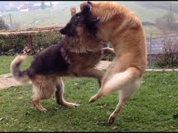 belgian sheepdog golden retriever mix labrador vs german shepherd fight hd youtube