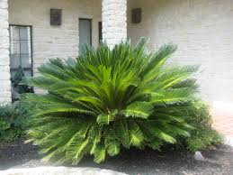 plants which are toxic poisonous to cats going evergreen