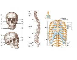 Human Ear Anatomy Quiz Axial Skeleton Labeling