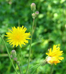 plants native to canada hieracium canadense wikipedia