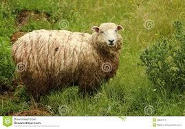 foto bagnate pecore bagnate immagine stock immagine di pecore 28581119