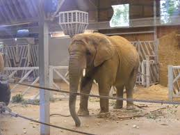tanya the african elephant in elephant kingdom exhibit at