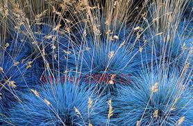 100 pcs blue fescue fesnea glauca ornamental grass perennial hardy