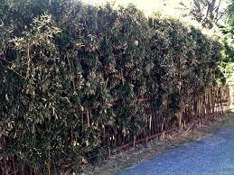 kerrie u0027s garden bamboo