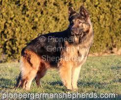 south australian german shepherd breeders available long coat german shepherd puppies for sale long coat