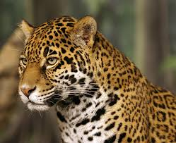 soldier kills a jaguar used in rio 2016 olympic torch relay animal
