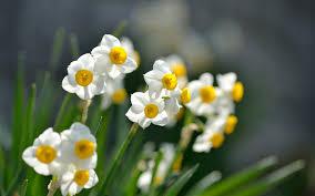 narcissus flowers hd wallpaper jpg 1680 1050 水仙 pinterest