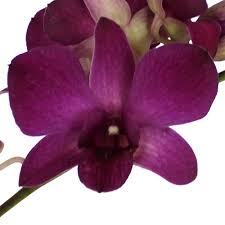 blue and purple orchids dendrobium wholesale bulk flowers fiftyflowers