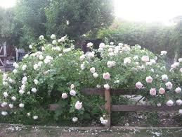 sweet life garden the wonder of roses u0026 the art of pegging