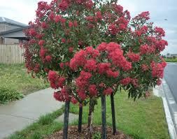ornament australian trees beautiful ornamental tree