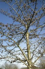 cherry leaf scorch and leaf spot rhs gardening