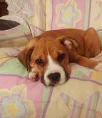 boxer dog quebec les 20 meilleures idées de la catégorie boxer dog rescue sur