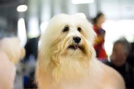 is a american eskimo dog right for me coton de tulear dog breed information pictures characteristics