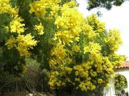 black bean aboriginal use of native plants acacia decurrens wikipedia