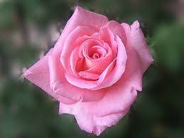 Meaning Of Pink Touched Pink Rose Wallpaper Flower Wallpapers Free Download