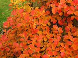 autumn colour cercis eastern redbud home gardening pinterest