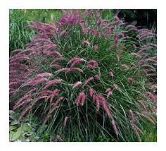 choice landscaping garden center ornamental grasses