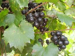 southland muscadine ison u0027s nursery u0026 vineyard
