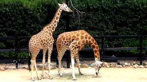 giraffes feeding at taronga zoo sydney for kids fun at the zoo