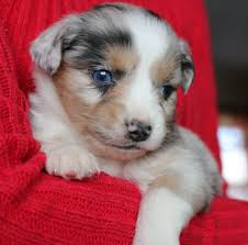 australian shepherd puppies 4 weeks old female mini aussie puppy stonger miniature and standard aussies