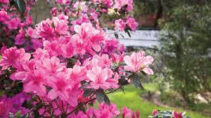 native plants to georgia the complete guide to azaleas southern living