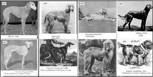 afghan hound giving birth afghan hound times recogniton of the breed 1925 1926 by the