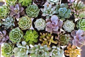 succulents meaning rohina anand khira author at