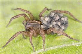 How To Keep Spiders Out Of Your Bed Don U0027t Squish That Wolf Spider Terminix