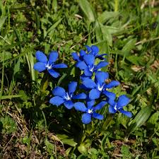 grassland native plants file frühlings enzian gentiana verna 07 jpg wikimedia commons