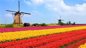 tulip fields in the netherlands 4238160 1600x900 all for desktop