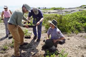 native plant restoration effort underway to restore mountain vegetation on top of cadillac