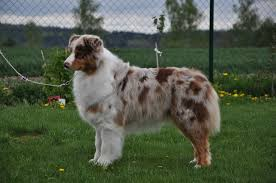 australian shepherd crufts 2015 news 2015