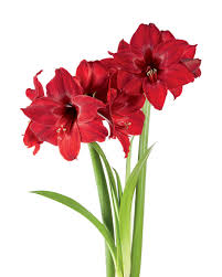Amaryllis Flowers Potted Amaryllis Bulbs 6 Varieties In Birch Pots Gardeners Com