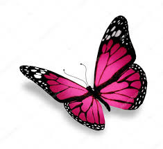 pink butterfly isolated on white background stock photo