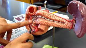 Anatomy Pancreas Human Body Human Duodenum Pancreas U0026 Spleen Model Youtube