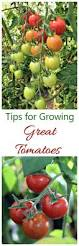 growing great tomatoes dos and don u0027ts for best success