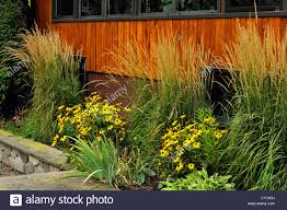 ornamental feather grasses karl foerster s and garden beds