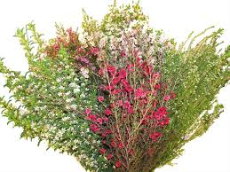 filler flowers california filler box waxflower flowers and fillers