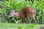 Red Brocket Deer - Mazama