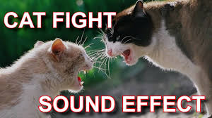 Cat Fight Meme - cat fight cats fighting sound effect youtube