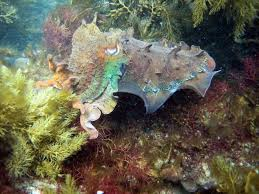 Color Blind Camouflage Cuttlefish Cuties Photos Of Color Changing Cephalopods