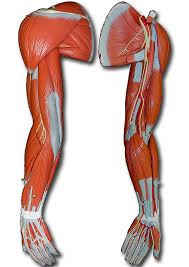 Human Body Muscles Images Muscles Of The Human Body