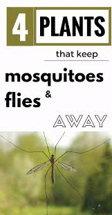 4 plants that keep mosquitoes and flies away gardens bug pest