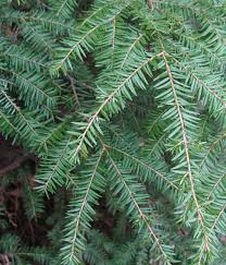 plants native to oregon using georgia native plants native evergreen conifers in north