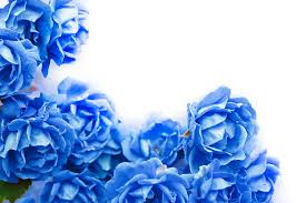 white and blue roses royalty free blue pictures images and stock photos istock