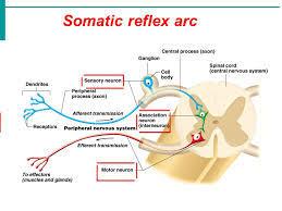 Pain Reflex Pathway Somatic Reflexes Dragon Society International