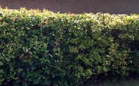 native texas plants great screening shrubs for north texas when privacy matters