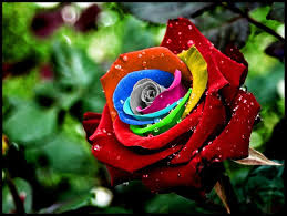 multicolored roses best 25 rainbow roses ideas on rainbow flowers