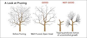 ornamental pruning tree maintenance san diego ca