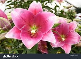 beautiful flowers big bloom stock photo 17840917 shutterstock